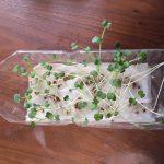 かいわれ大根を種からペットボトルで栽培してみた